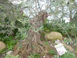 An ancient, gnarled olive tree in the Mediterranean Biome.