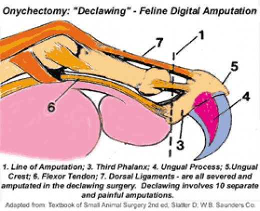 This is a diagram of the cats claw showing where the bone is cut off.