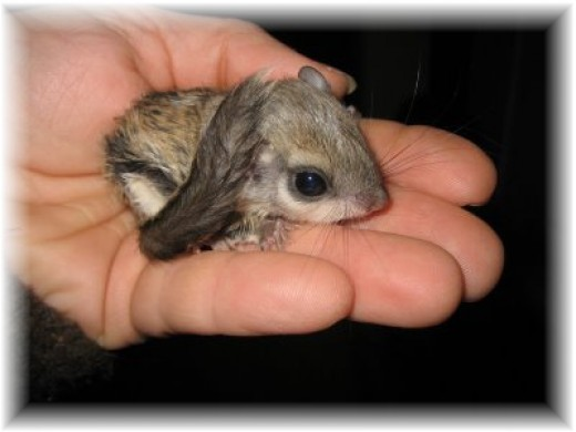 Small squirrel on hand