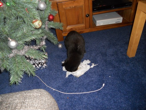 Jimmy the cat unwraps his own Christmas present