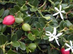 Plant Profile: Natal Plum (Carissa macrocarpa)