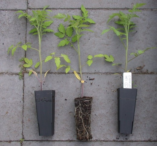 These tomato seedlings are at an ideal size to benefit from deep planting.