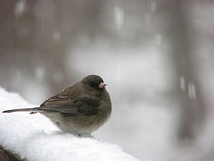 Junco fluffed up to create air pockets for warmth