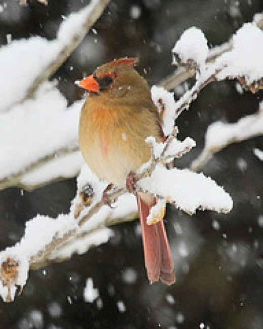 Female Cardinal braving the cold and snow.