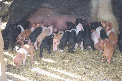 Baby pigs have got to be one of the cutest farm animals on earth.