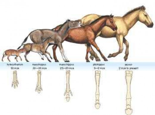 The fossil record for horses feet are particularly strong