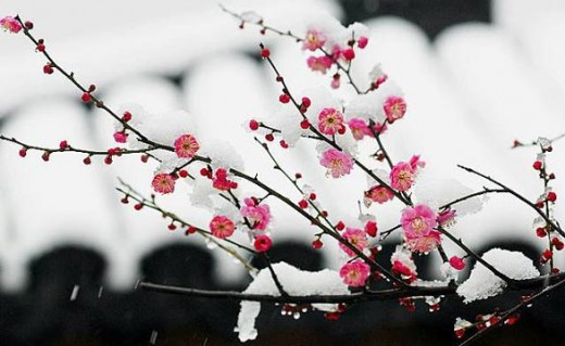 December 8th in Chinese lunar calendar: Chinese plum in bloom