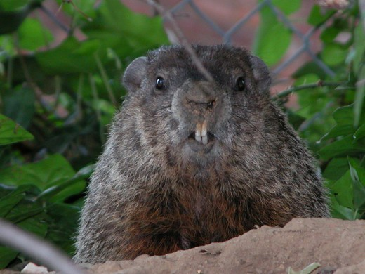 Mr. Ground Hog! Would sure hate to tangle with those teeth!