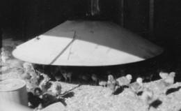 Baby Chickens under a Gas Brooder, 1949