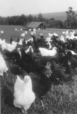 Chickens on Range, 1940s