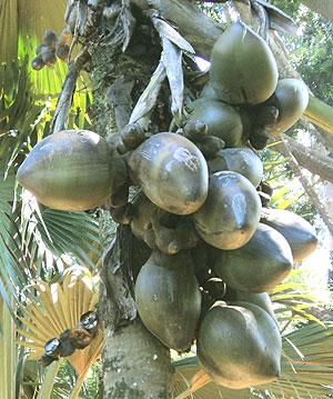 Double Coconut (Lodoicea maldivica)