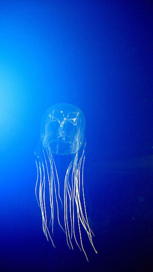 Box Jellyfish - Tiny but dangerous