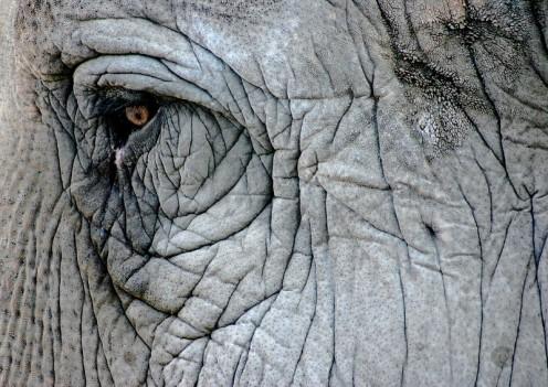 Elephant eye (San Diego Zoo)