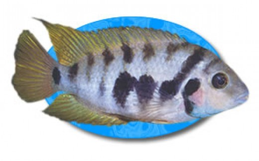 The Convict Cichlid is recognized by it's vertical black stripes which run the length of it's body giving it the appearance of being dressed in a convict's outfit.