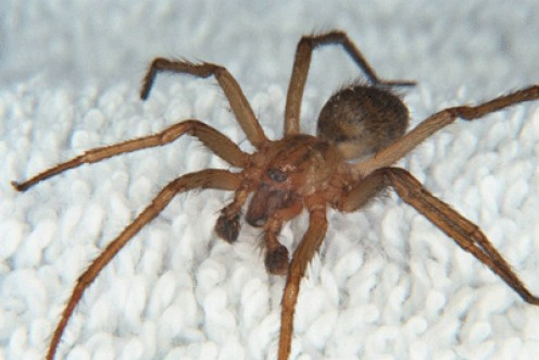 Photo Courtesy of Wikipedia Commons Via Dr. Lee Ostrom's Hobo Spider Images