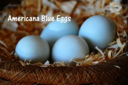 Blue eggs from an Americana Chicken