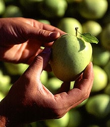 The beautiful golden delicious remind me of Athena's Apples.  Sweet and good, they are raised in West Virginia and are full of vitamins.