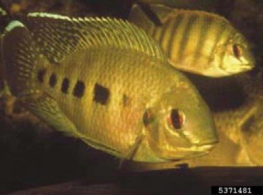 Spotted Tilapia