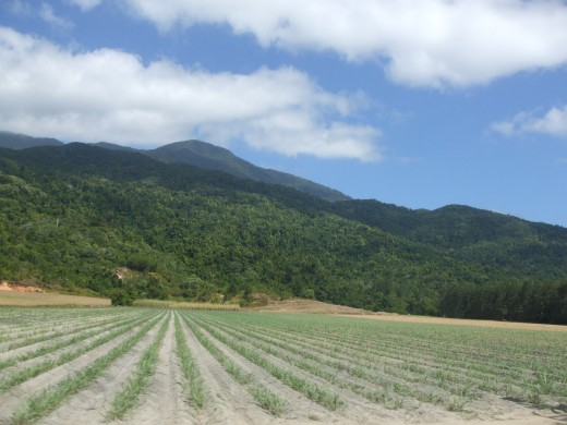 Newly planted rows of sugar cane, Cairns.