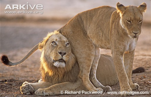 Flirting lions.
