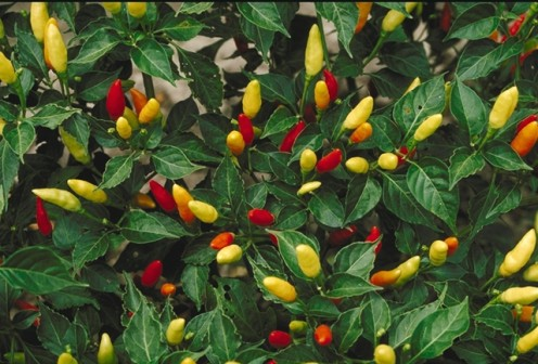 Tabasco peppers (Capsicum annuum) are small but extremely hot chili peppers.
