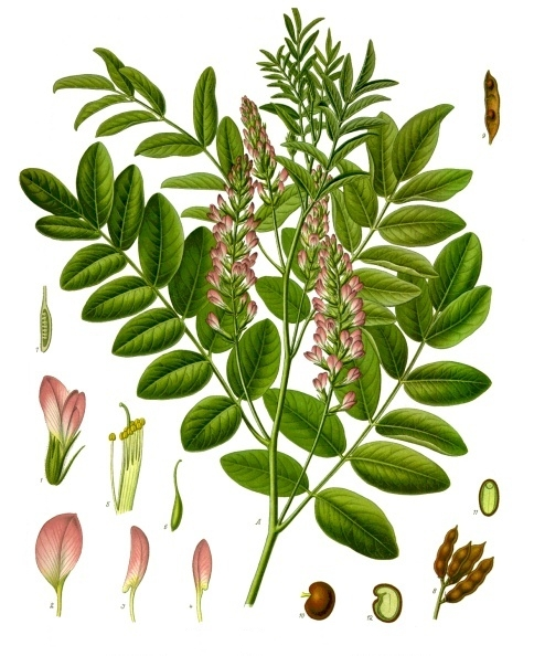 A botanical drawing of the licorice plant.