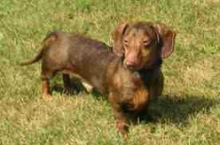 Getting a Dachshund of Your Own