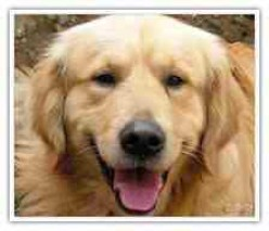 Caring For Your Very Own Golden Retriever