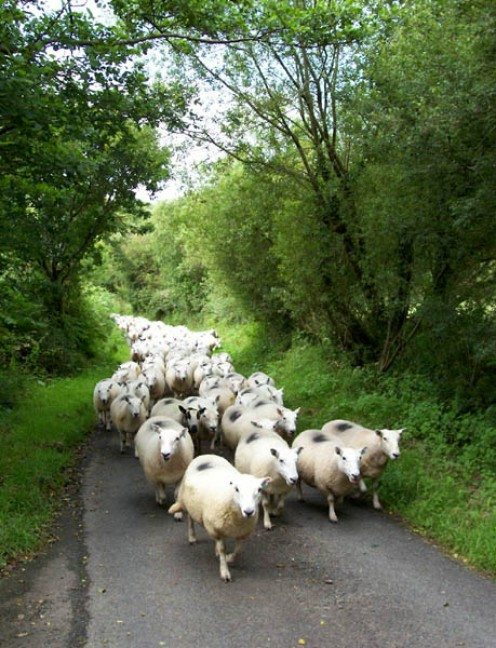 Sheep-herding Caught on a minor road awaiting the passage of a large flock of freshly-marked she