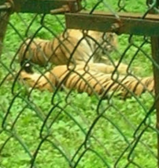 Tigers caged in SGNP