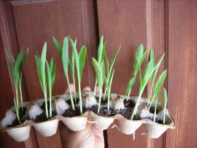 Seedlings Emerging In Egg Cartons