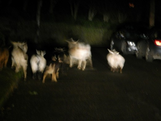 the car headlights not the flash illuminate the furry friends in the middle of the road.