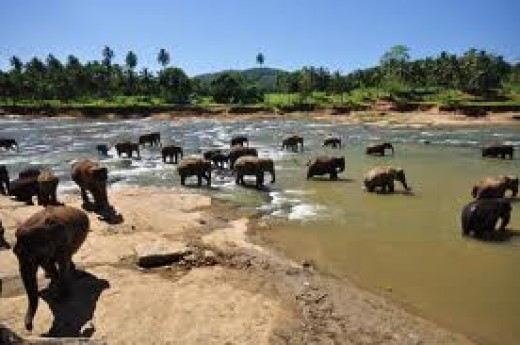Orphanage elephants bathing at river Ma Oya.