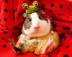 MY DAUGHTER'S GUINEA PIG DOODLES IS WEARING ONE.