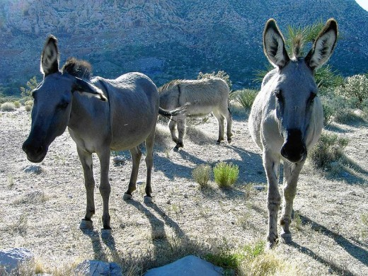 "Cute desert Burro's, gotta love the natural ""Mohawk"" hairdo's on these guys! ;)"