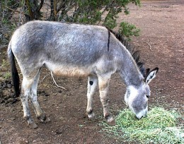 Pretty burro found something to munch on!