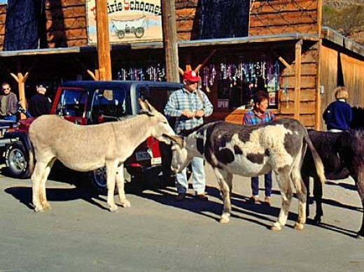 Wild burro's walk the streets of the town of Oatman, Arizona