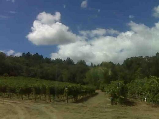 Beautiful Coppola Vineyards in Geyserville