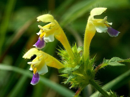 Common Hemp Nettle