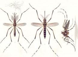 The Aedes Aegypti Mosquito. This mosquito is a carrier of Yellow Fever and Dengue Hemorrhagic Fever.