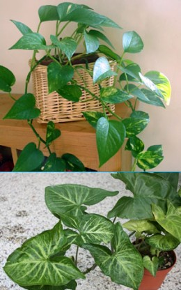 Pothos (top) and Arrowhead (bottom) [Credit: Morguefile Photos]