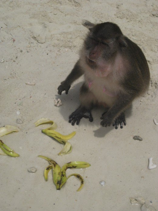 Wow, the monkey was really gobbling down the bananas!