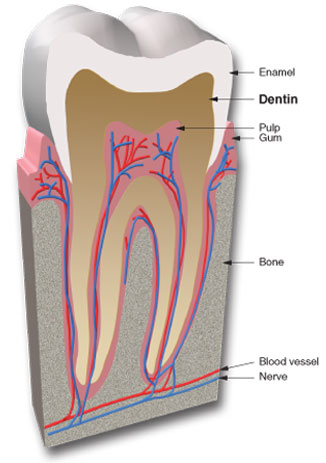 Cutaway view of a tooth showing the dentin layer.