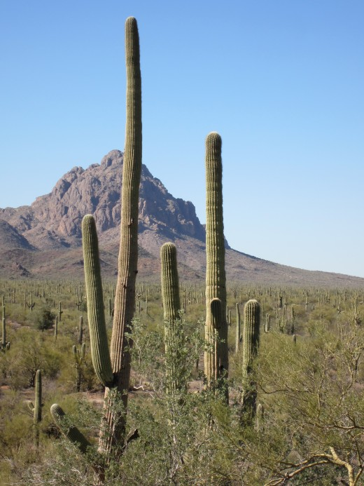 Saguaro Cacti with peaks of nearby Roskruge Mountains in background