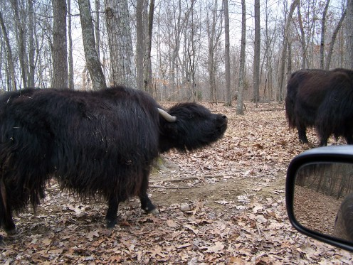 Oh, give me a home . . . where the buffalo roam . . .