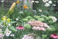 Photo Gallery: Flowers in my Front Yard Garden