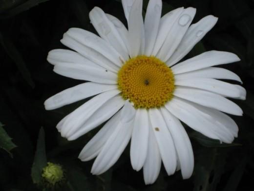 Shasta Daisy (perennial).