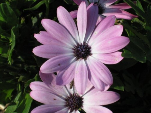 African Daisy / Osteospermum (annual).