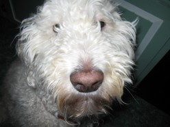 What's The Best Breed of Dog? Goldendoodle!