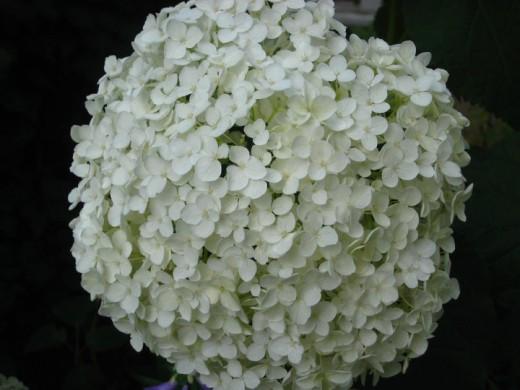 Annabelle Hydrangea (perennial).